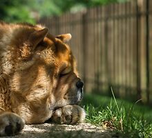 Resting chow dog by tom klausz