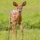Fawn Memories - White-tailed deer by Jim Cumming