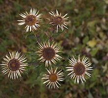 Carline Thistle by MagsArt