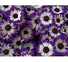 Bold Purple and White Flowers Photographic Print