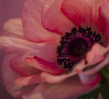 Pink Anemone  by Nicole  Markmann Nelson