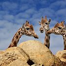 Giraffe Meeting by CarolM
