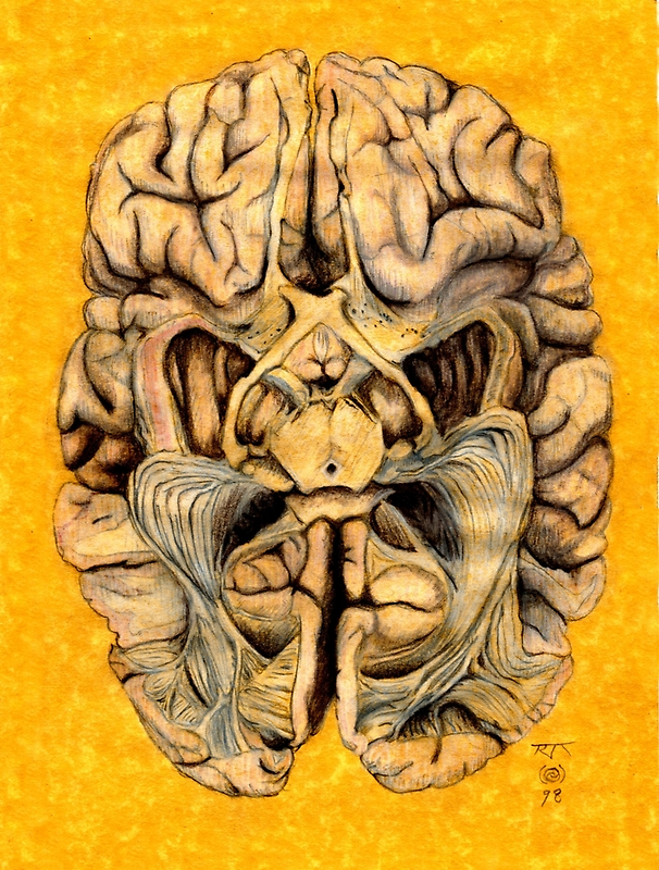 Brain section showing visual system pathway by Toradellin