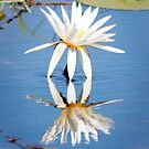 African Water Lilly on the Chobe river by Robert Kelch, M.D.