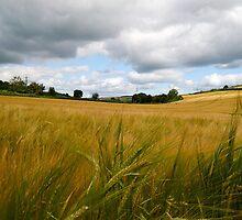 golden field by Sara Sadler