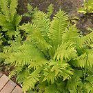 Ferns by kathrynsgallery