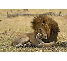 Mature male Lion (Panthera leo) Photographic Print