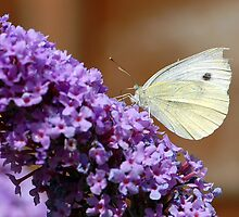 Cabbage White butterfly on Buddleia by rosie320d