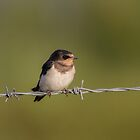 Barn Swallow.. by Lauren Tucker