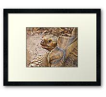 African Spurred Tortoise Framed Print