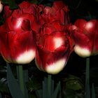 Red And White Tulips by Kathleen Struckle