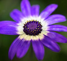 Senetti Blue Impression by Fotigrafie