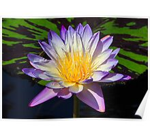 Beautiful Water Lily and Lily Pad Poster