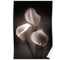 Three Calla Lilies Against Black Background Poster