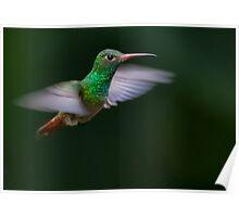 Rufous-Tailed Hummingbird Poster