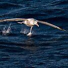 Wandering Albatross Takeoff by Steve Bulford