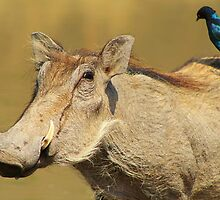 Hitching a Ride - Warthog and Starling - Wild Africa by LivingWild