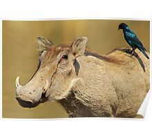 Hitching a Ride - Warthog and Starling - Wild Africa Poster