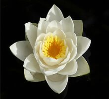 Purity - White lily by Rivendell7