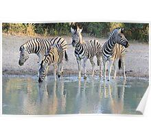 Zebra Reflection - Beautiful African Wildlife Poster