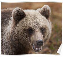 Bear, brown bear, bears Poster