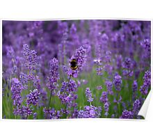 Lavender with bumble bee Poster