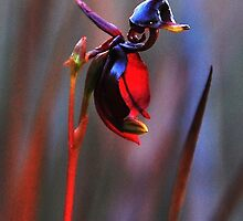 Flying Duck Orchid by Garth Smith