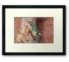 Collared Lizard at Colorado National Monument Framed Print