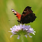 Peacock Butterfly by DAVE SNEYD