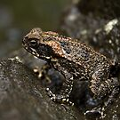 Pohnpeian Toad - Pohnpei, Micronesia by Alex Zuccarelli