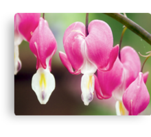 Bleeding Heart Flowers Hanging in a Row Canvas Print