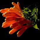 Flame vine flower by flexigav