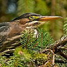 Green Heron by Michael Cummings
