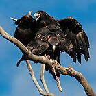 Copulating Wedge Tailed Eagles  4 Canberra Australia by Kym Bradley