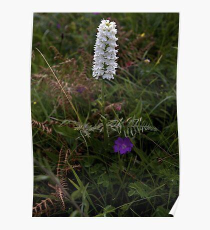 Irish White Orchid, Inishmore Poster