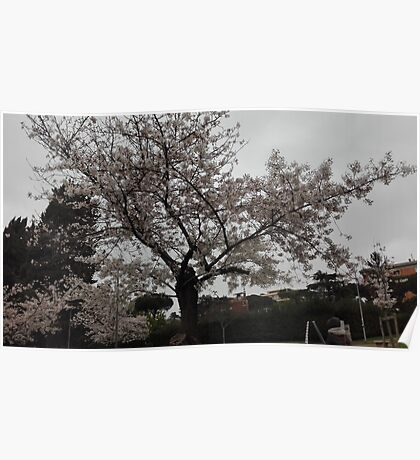 Japanese sakura tree - Hanami Poster