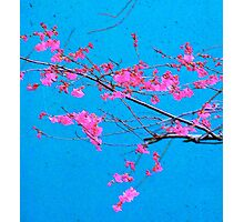 Cherry Blossoms on Blue Photographic Print