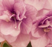 African Violet Macro by Sandra Foster