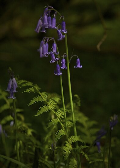 Two Bluebells in Prehen Woods, Derry by George Row