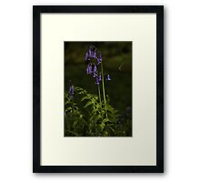 Two Bluebells in Prehen Woods, Derry Framed Print