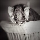 """Shyla"" Ringtail Possum by Amber  Williams"