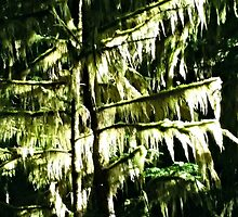 Mossy Trees by kchase