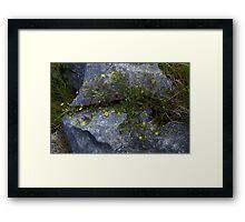 Tormentil, Dun Aengus, Inishmore, Aran Islands Framed Print