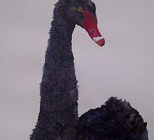 Black Swan - bird of grace and beautify by Jan Lowe