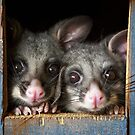 """Poppy & Ivy"" Brushtail Possums by Amber  Williams"