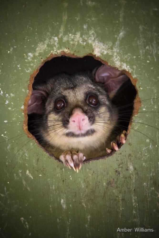 """Fatso"" Brushtail Possum by Amber  Williams"