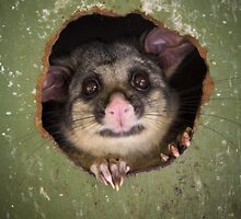 """Fatso"" Brushtail Possum by Amber  Williams"