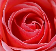 Red, Red...Rose? by Richard Keech