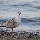 Happy Gull by mercale