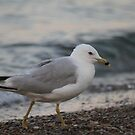 Ring Billed Gull Stalks The Beach by mercale